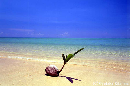 003小浜島:ヤシの実