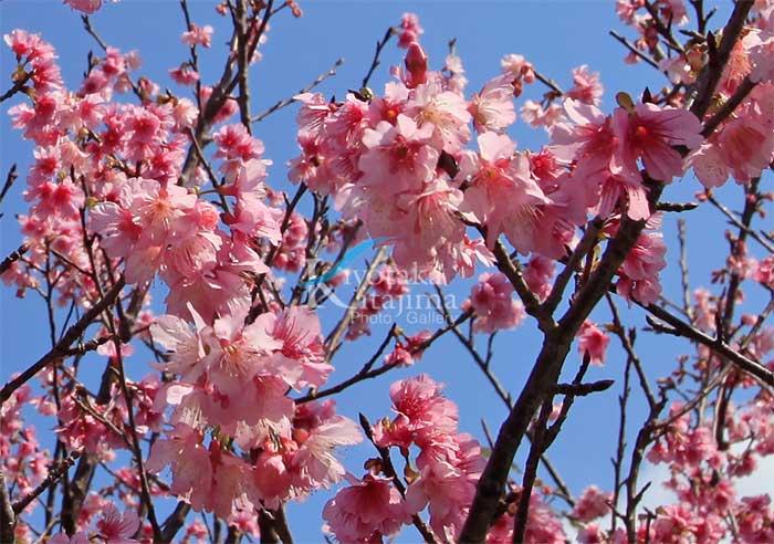 2009年 いちばん桜