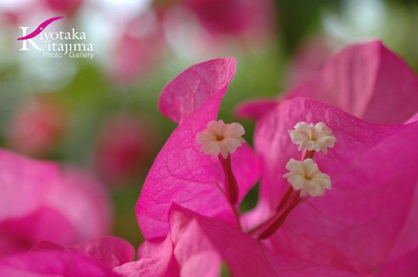 Okinawan Flowers