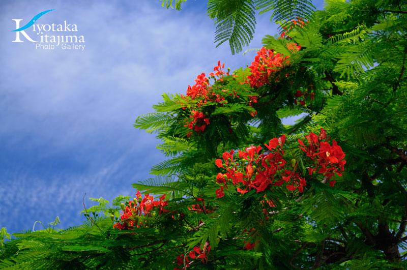 ホウオウボク_Okinawan Flowers