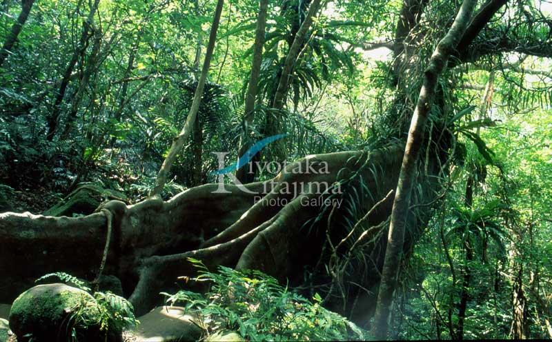 西表ジャングル