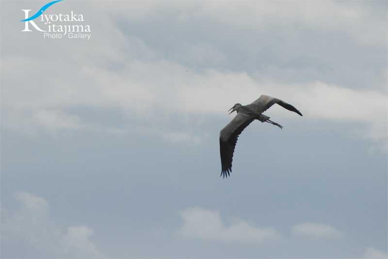 石垣島の鳥シリーズ