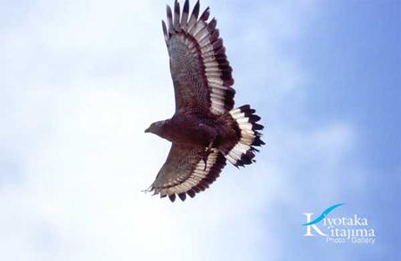 008鳥:カンムリワシ