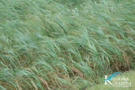 台風に揺れるサトウキビ畑