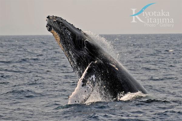 座間味島:ザトウクジラ