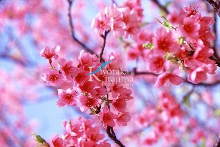 006花:桜