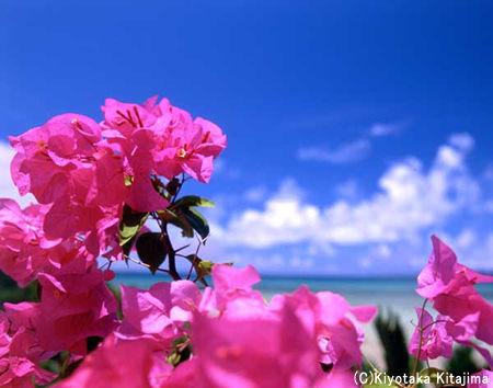006花:ブーゲンビレア