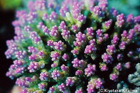 003サンゴ:サンゴの花