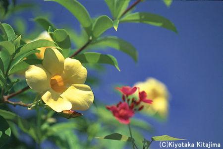 花:アリアケカズラ