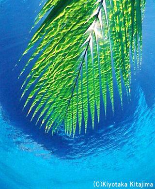 003水中:ヤエヤマヤシ
