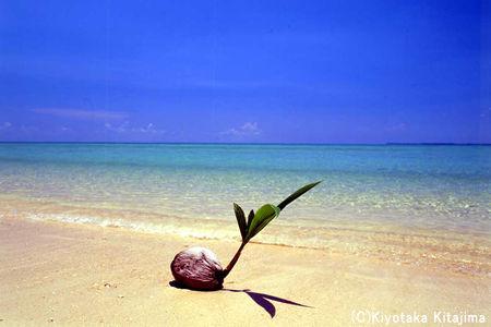 003ビーチ:ヤシの実