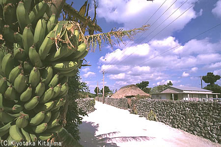018竹富島:島バナナ