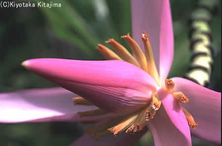 006花:バナナの花