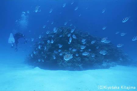 008魚の群れ:オヤビッチャ