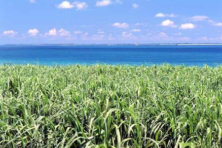 沖縄本島:さとうきび畑