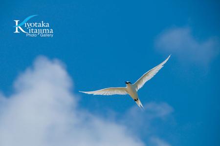 008鳥:アジサシ