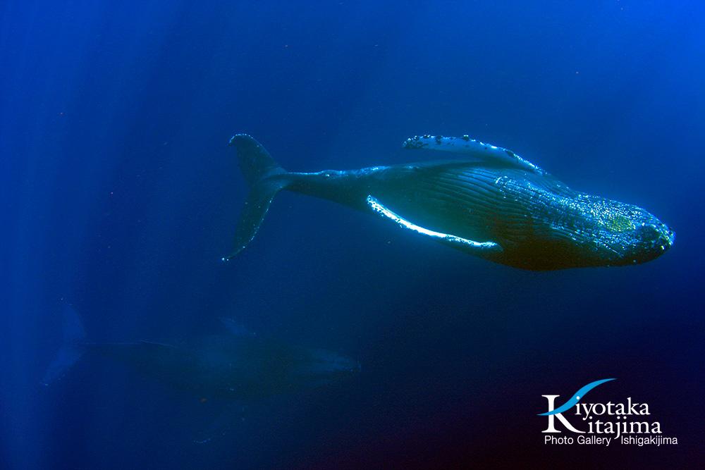 水中:ザトウクジラ