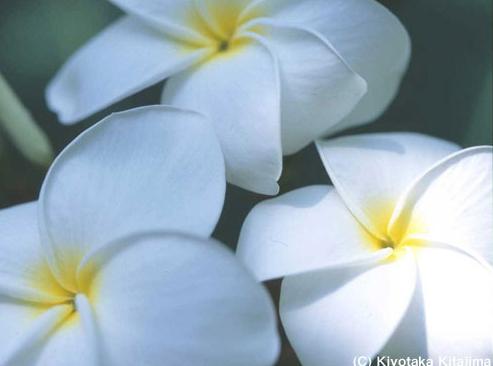花:プルメリア