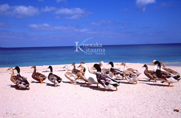 鴨がいるビーチ