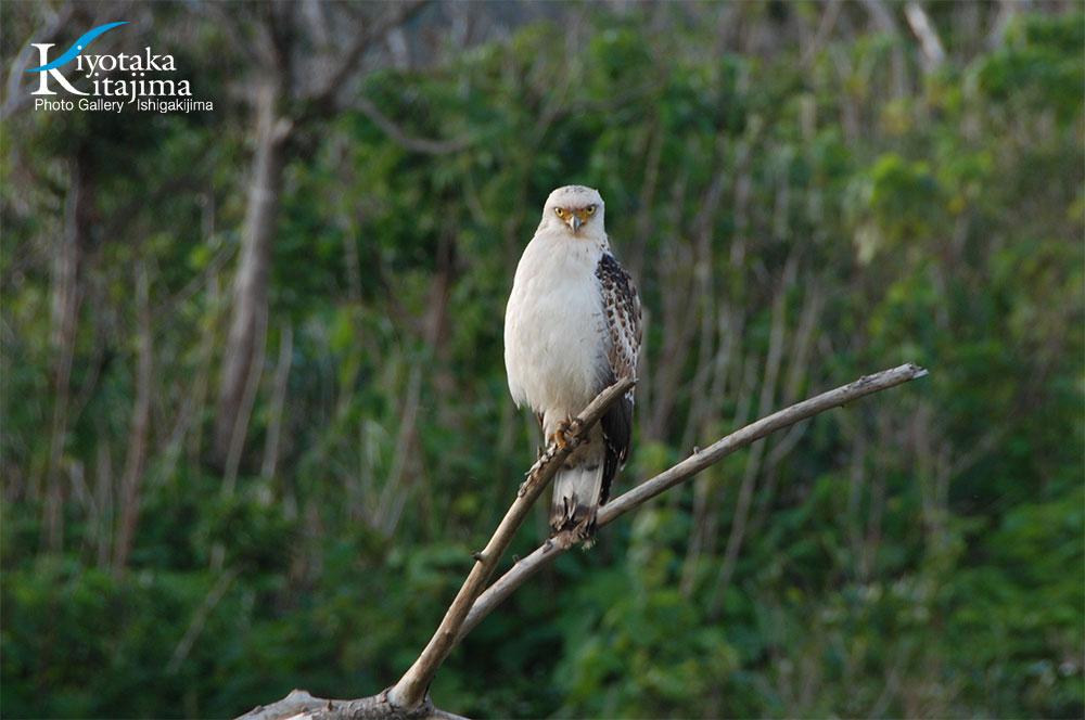 鳥:カンムリワシ