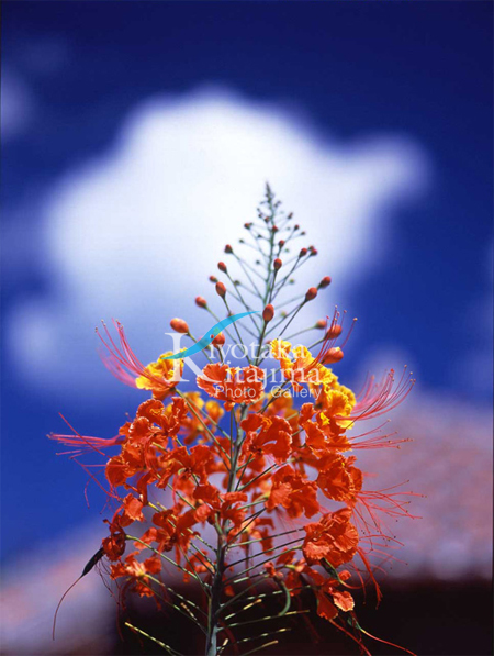 006花:オオゴチョウ