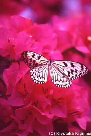 001蝶:オオゴマダラ