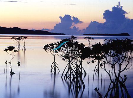 003小浜島:マングローブ