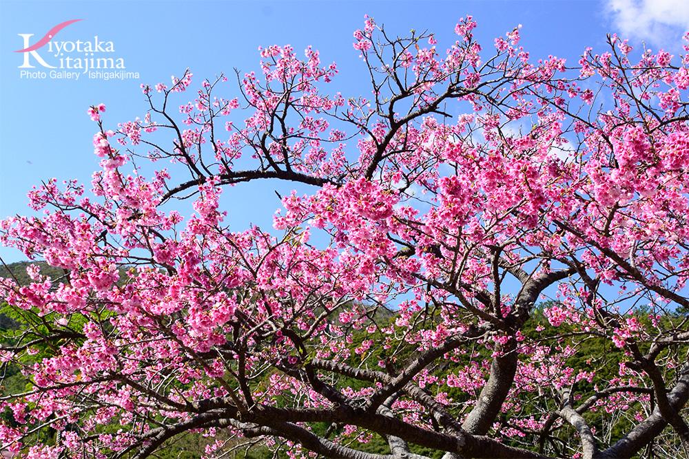 花:カンヒザクラ