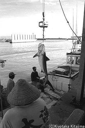 石垣島:サメ退治